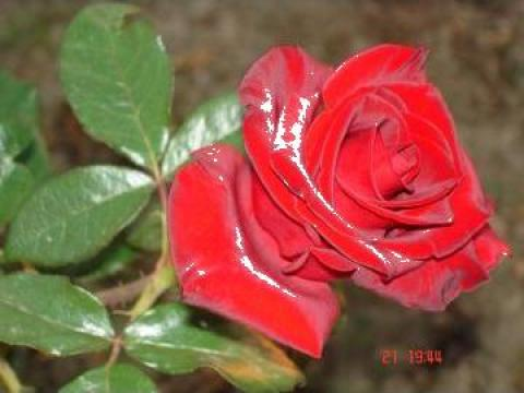 Butasi de trandafiri altoiti