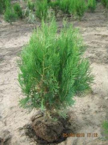 Planta gard viu Tuia orientalis de la Azteka Gardens Srl