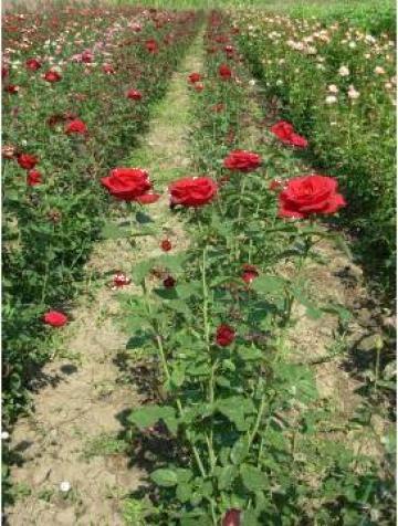 Butasi trandafiri altoiti de la Hobby Plant