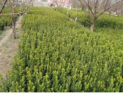 Rulouri gazon Buxus de la PFA Sima P Luminita Elena