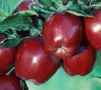 Pomi fructiferi meri, ciresi, visini, altoiti de la
